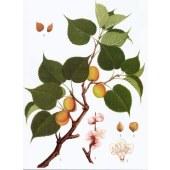 Amygdalin;Vitamin B17;Bitter Apricot Seed