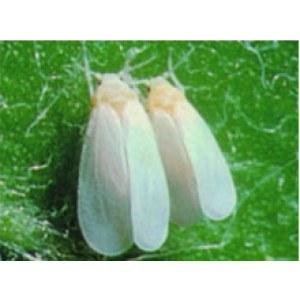 Insecticides Imidacloprid 2.5% WP
