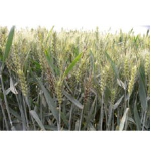Fungicides Tebuconazole 12.5%ME 40%ME 50%ME