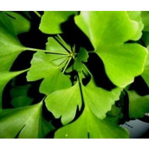 Ginkgo Biloba Extract EP with CEP&WC extracted by acetone