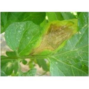 Bio-pesticides Bio-fungicide for export