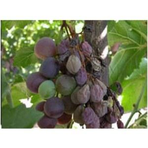 Fungicides Pyrimethanil 26%-80%WG