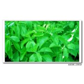 GMP facotry, KOSHER certificated stevia 95%