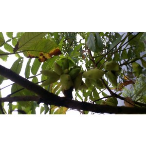 Chinese Gallnut Extract Gallic Acid Tannic Acid