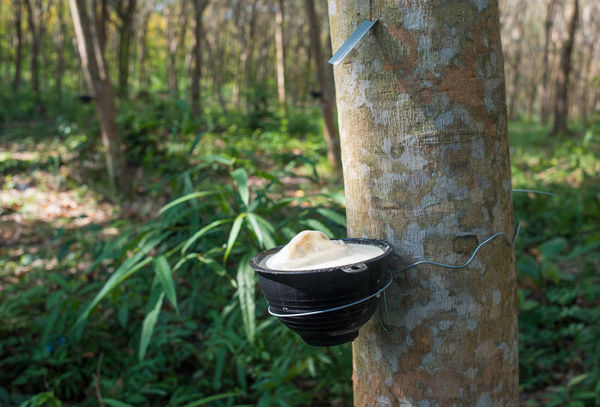 rubber plantations to be reduced in Thailand