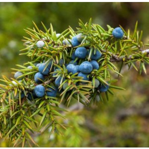 1KG Cade Oil Price juniper berry essential oil factory price for skincare or cosmetic