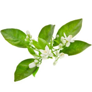 1KG Cosmetic Grade Neroli Essential Oil Orange Blossom Essential Oil Price